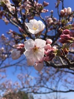 H30.3.30桜