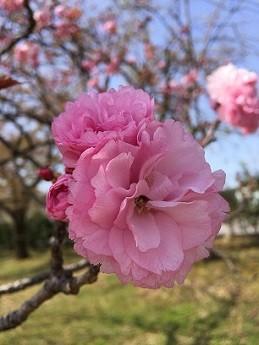 13八重桜