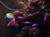 ピンクのお魚