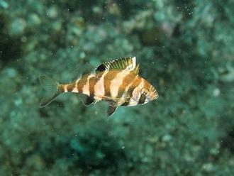 ユウダチタカノハ幼魚201402