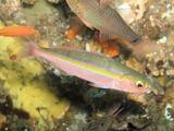 タカサゴ幼魚201402