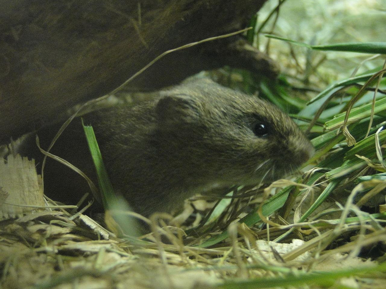 ハタネズミの画像 p1_4