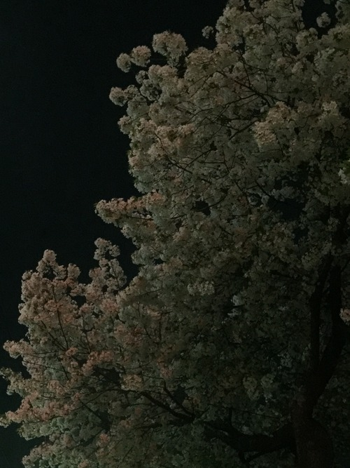 20150402_cherry2