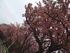 20100426_sakura