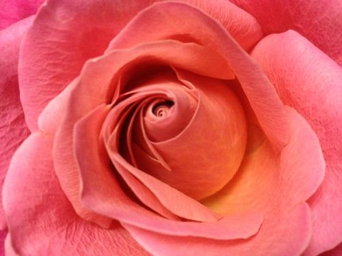20121224_rose