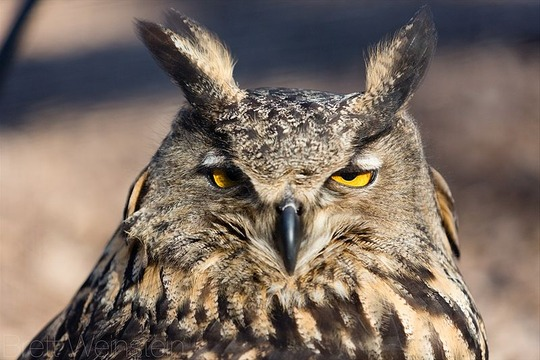 800px-Sleepy_Eurasian_Eagle-Owl