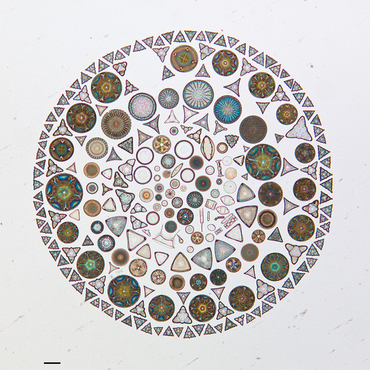 diatom-1