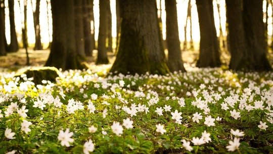 flowers_small_white_green_trees_forest_nature_33746_1280x720