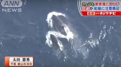 東京湾 シャチ
