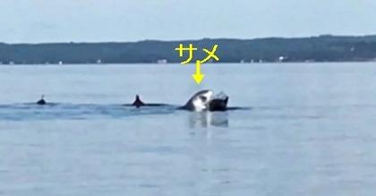 サメ porpoises 1