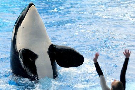 A SeaWorld killer whale show in 2010