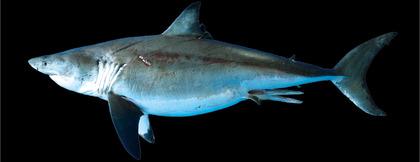 ホホジロザメ標本
