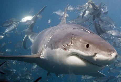 サメ 共食い3