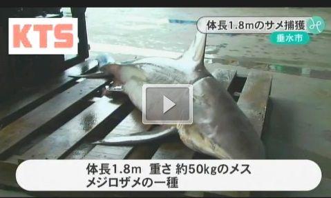 鹿児島 サメ