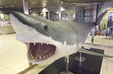 東京湾のホホジロザメの剥製「かわジロー」