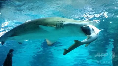 韓国 サメ