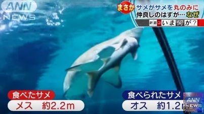 サメがサメを食べた ANN