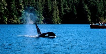 ホエールウォッチング(Whale Watching)トフィーノ
