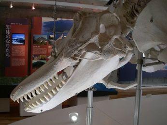シャチ 骨格2