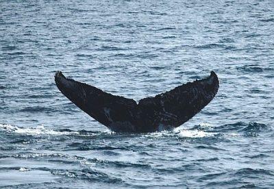 確認2度目 座間味 クジラ