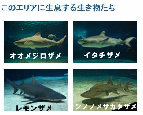 美ら海水族館 サメ1