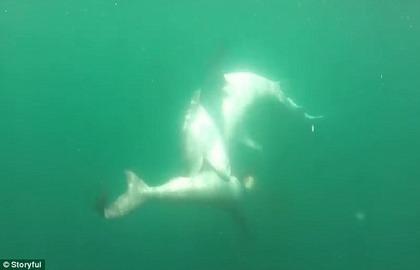 サメ対サメ