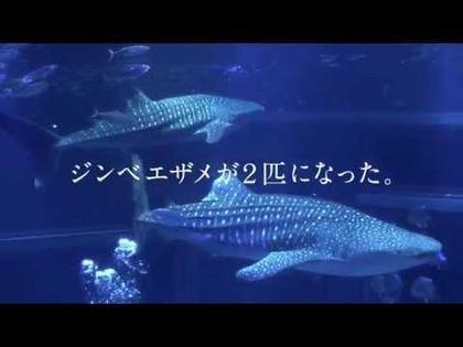 大阪 海遊館2015年夏のテレビCM「ジンベエザメ2匹 どっちか編」