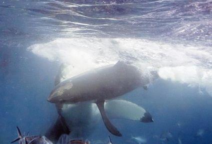 サメ 共食い4