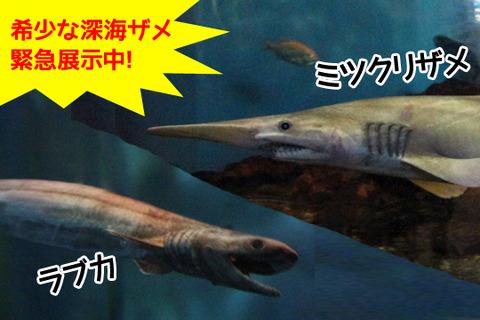希少な深海ザメ「ミツクリザメ」「ラブカ」緊急展示
