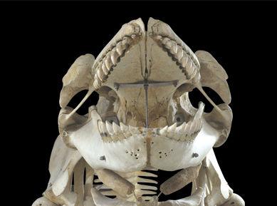 シャチ骨格