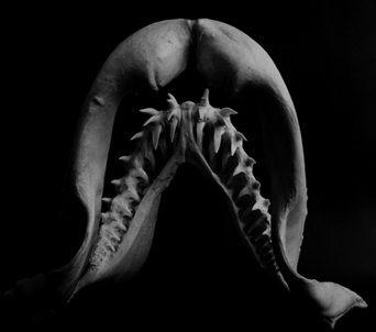 アオザメ 口蓋方形軟骨と下顎軟骨
