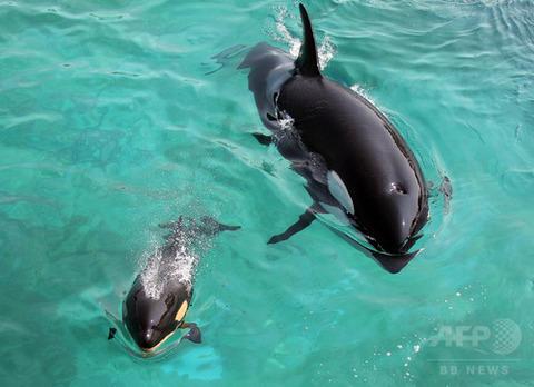 「マリーンランド」で泳ぐシャチの母子