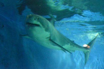 ホホジロザメ 沖縄4