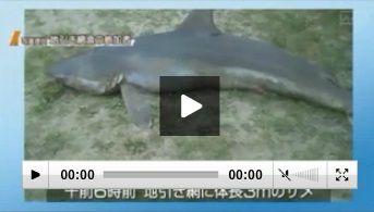 秋田のサメ2