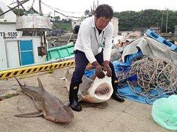 サメ 鳥取
