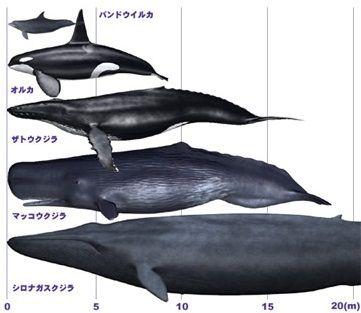 シャチの大きさ 比較