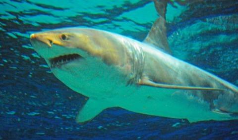 ホホジロザメ展示 沖縄美ら海水族館