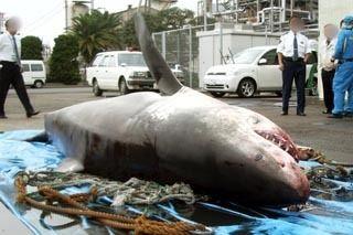東京湾のホホジロザメ 発見時1