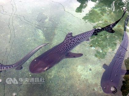 台湾 イタチザメ