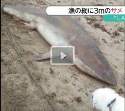 秋田 サメ