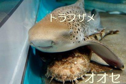 トラフザメとオオセ