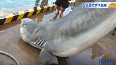 サメ駆除のニュース