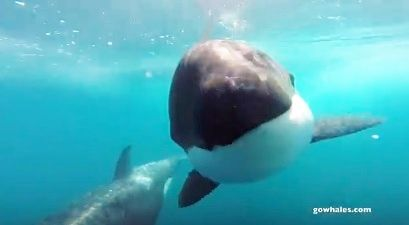 シャチ Monterey Bay Whale Watch1