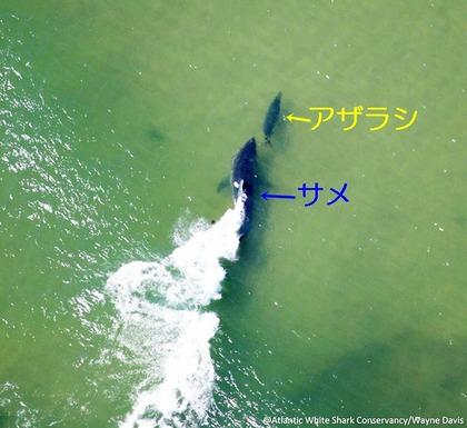 ホホジロザメ アザラシ