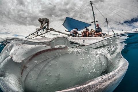 ジンベエザメの餌付け