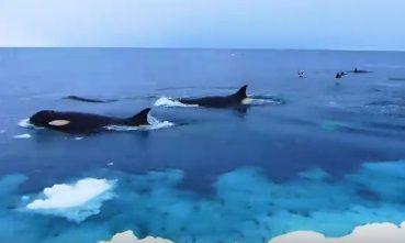 南極 シャチ
