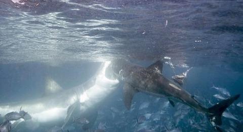 サメ 共食い1