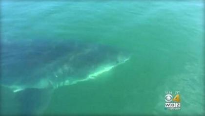 CBS サメ