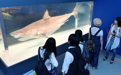 海のハンター展 ホホジロザメ