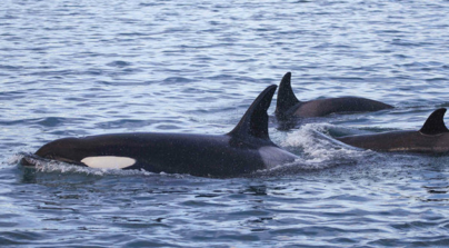 killer whale found dead